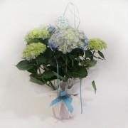 Plantas de hortensia en azul, rosa o blanco